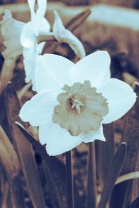 DaffodilChromacolorMonochrome11032102